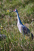 Sandhill Crane by a pond, Madison, Wisconsin; likely migrating; fall, 2011