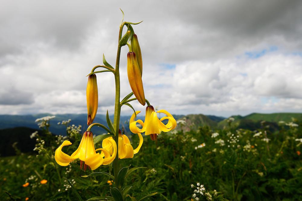 Russia, Caucasus, Caucasian Lily (Lilum monadephum).