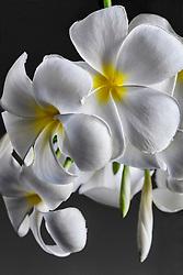 Plumeria alba, Frangipani#5