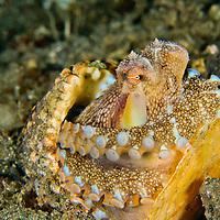 Alberto Carrera, Coconut Octopus, Amphioctopus  marginatus,  Lembeh, North Sulawesi, Indonesia, Asia