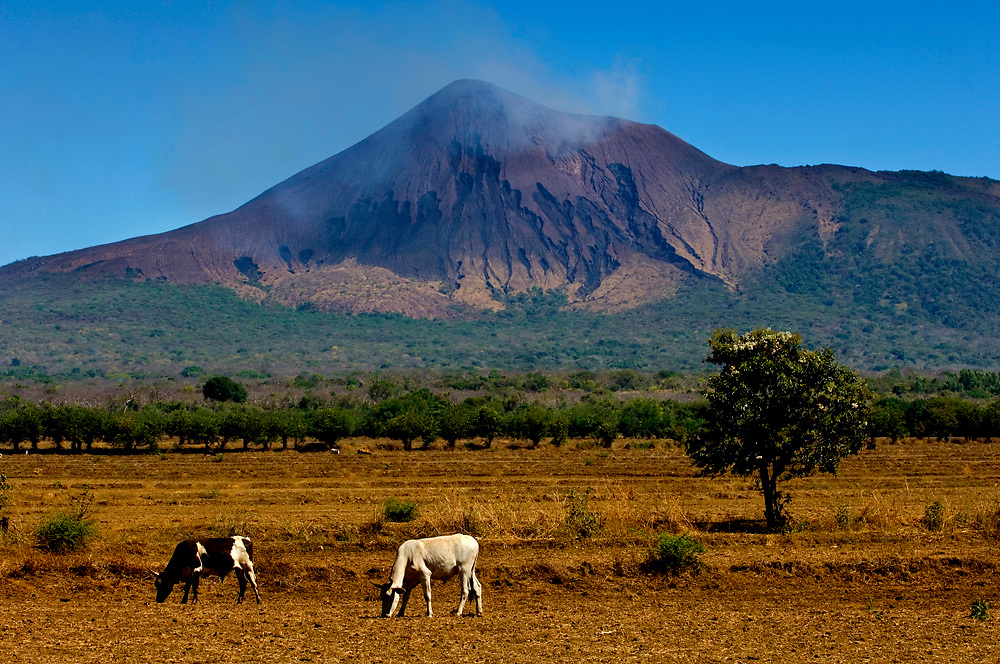 Smoking Telica Volcano Rises Over A Farm And Its Grazing Cows In Northwestern Nicaragua.