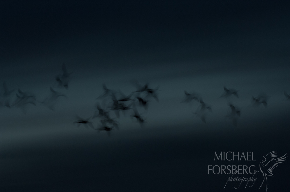 Platte River valley, Nebraska<br /> <br /> Sandhill cranes in flight at twilight