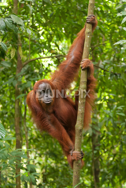 A Sumatran orangutan takes a relaxed stance on a forest sapling near Bukit Lawang, North Sumatra.