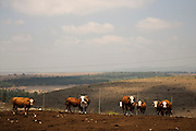 Beef cattle breeding In Israel, Mount Carmel