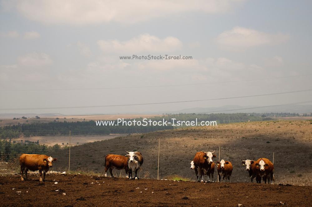 Beef cattle breeding In Israel, Mount Carmel