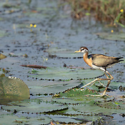The bronze-winged jacana (Metopidius indicus) is a wader in the family Jacanidae. It is the only member of the genus Metopidius. It has huge feet and claws which enables it to walk on floating vegetation in shallow lakes that are its preferred habitat