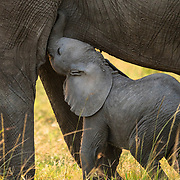 An elephant calf in Maasai Marawas trying to get his share of milk from his mother.