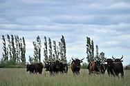 02/05/14 - CAMARGUE - GARD - FRANCE - Taureaux Camarguais dans un paturage d herbe de Crau, seule AOP fourragere en France - Photo Jerome CHABANNE