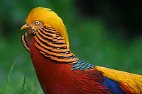 Portrait of a male Golden pheasant, Chrysolophus pictus, standing and displaying in grass in Yangxian Nature Reserve, Shaanxi, China