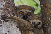Avahi lemurs or Western woolly lemurs (Avahi occidentalis) Mother with infant.<br /> Ankarafantsika Strict Nature Reserve, Western deciduous forest. MADAGASCAR<br /> A medium-small lemur invariably seen climing vertically to trunks or branches. 560-650mm and weight: 700-900 grams. They have round faces and almost concealed ears. They are nocturnal and spend the day resting together in family groups - usually in dense foliage. The diet consists almost exclusively on leaves and young buds.<br /> DISTRIBUTION: Restricted to western and north-western Madagascar.<br /> THREATENED SPECIES due to habitat distruction and the fact that it has such a small distribution.<br /> ENDEMIC TO MADAGASCAR