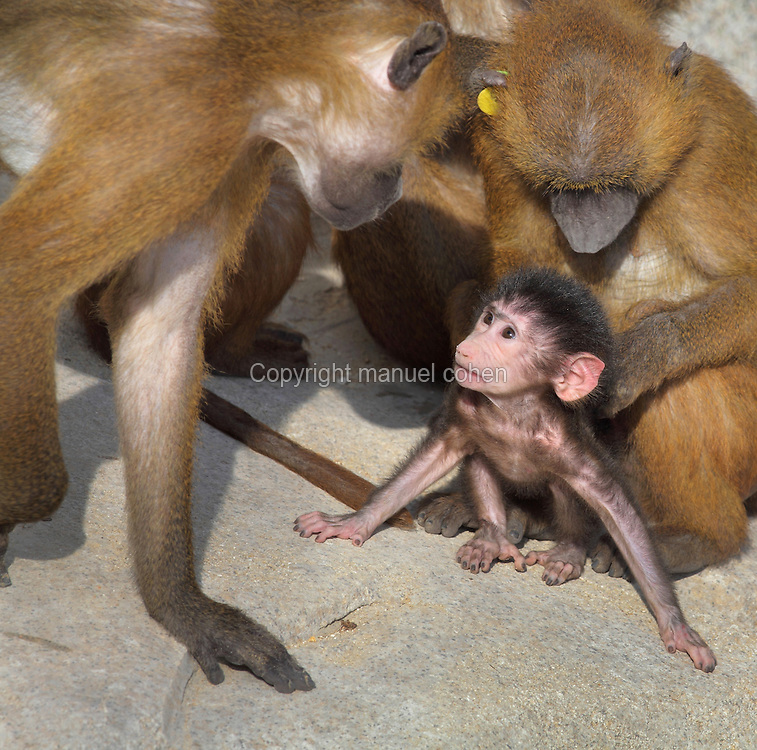 Family group of Guinea Baboons (Papio papio) with a baby, in the Zone Sahel-Soudan of the new Parc Zoologique de Paris or Zoo de Vincennes, (Zoological Gardens of Paris or Vincennes Zoo), which reopened April 2014, part of the Musee National d'Histoire Naturelle (National Museum of Natural History), 12th arrondissement, Paris, France. Picture by Manuel Cohen