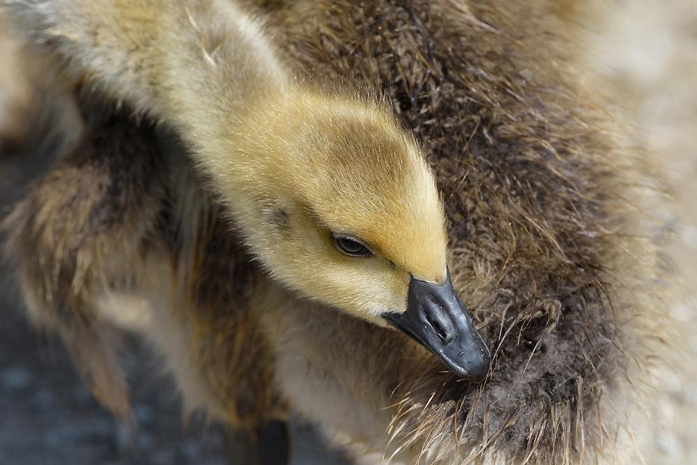 Canada Gosling, Ladner, British Columbia