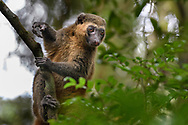 Goldener Bambuslemur oder Goldener Halbmaki (Hapalemur aureus), Ranomafana, Madagaskar<br /> <br /> Golden bamboo lemur (Hapalemur aureus), Ranomafana, Madagascar