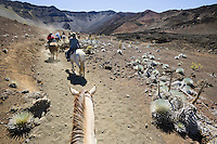Line of horses and riders heading up a trail in Haleakala Crater, Haleakala National Park, Maui, Hawaii, USA.  In this section the trail is lined with the endangered Silversword plant that can only be found on the Hawaiian island volcanos at high altitudes.