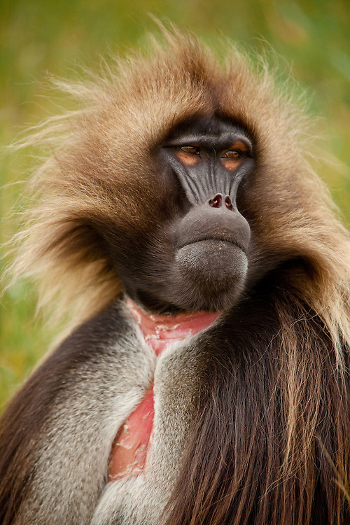 Male gelada baboon, Theropithecus gelada, on the Guassa Plateau of the Ethiopian Highlands