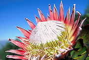 King Protea, Hawaii, USA<br />