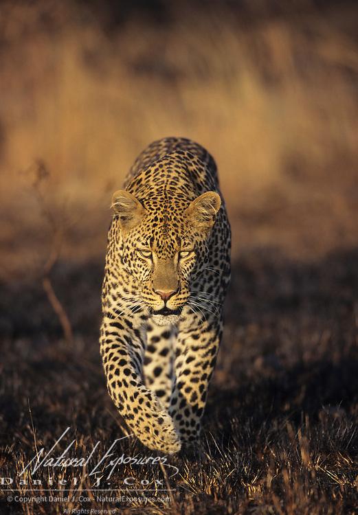 An adult leopard in Kenya, Africa.
