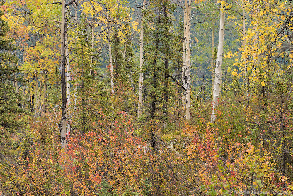 Fall color in aspen forest, Denali National Park, Alaska