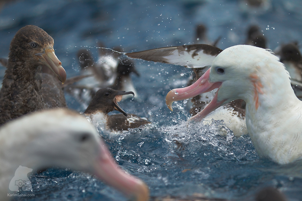 A Cape Petrel (Daption capense, center) and a Southern Royal Albatross (Diomedea epomophora,) quarrel in the open sea off the coast of Kaikoura (New Zealand), while a Southern Giant Petrel (Macronectes giganteus, left) looks on. The Southern Royal Albatross' plumage is mostly white but darkens on the upper wings close to the bird's body. Unlike the Southern Royal Albatross whose numbers are in the tens of thousands, Cape Petrels have a large global population estimated to be around two million individuals.