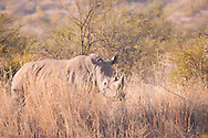 Female white rhino peering through the long winter grass