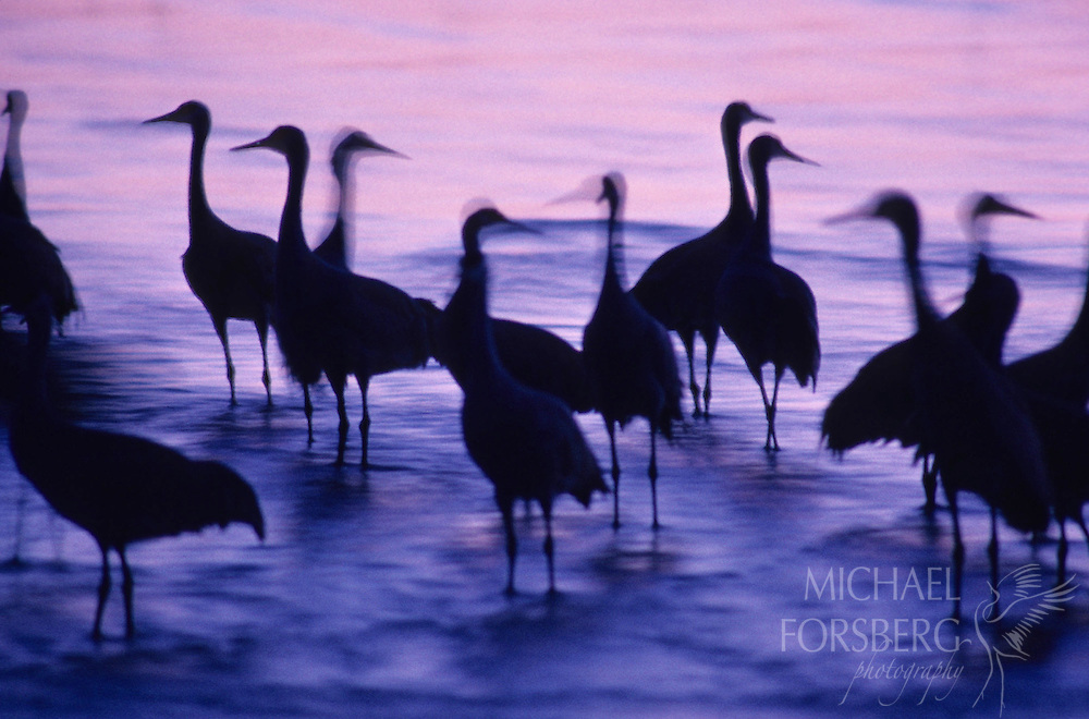 Roosting cranes on the Platte River, their bodies profiled against the pink and purple water as the sun sets.  Rowe Sanctuary, Nebraska.
