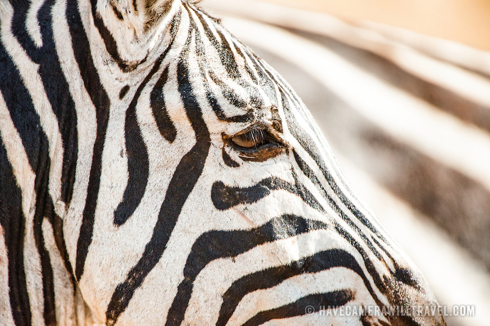 Closeup of the right side of a zebra's face at Ngorongoro Crater in the Ngorongoro Conservation Area, part of Tanzania's northern circuit of national parks and nature preserves.