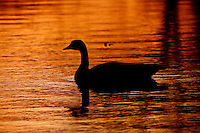 A Canada Goose swims in the pond at Carburn Park at Sunset...©2009, Sean Phillips.http://www.Sean-Phillips.com