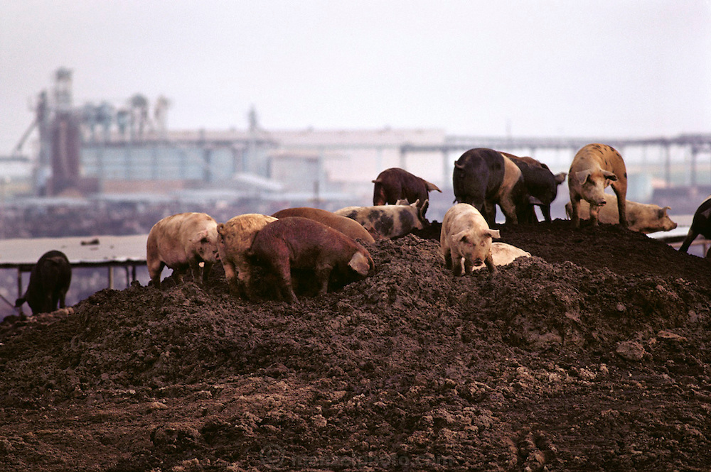 Pigs/Swine/Hog: Scavenging pigs eat the undigested grain in a mountain of beef cattle manure at the Harris Feed Company huge feed lot, Coalinga, California. USA.