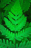 Common Oak Fern, Northern Oak Fern (Gymnocarpium dryopteris)