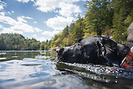 Black lab swimming in Copperas Pond in New York's Adirondack Park