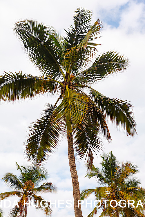 Coconut Trees along the Ghana Coastline