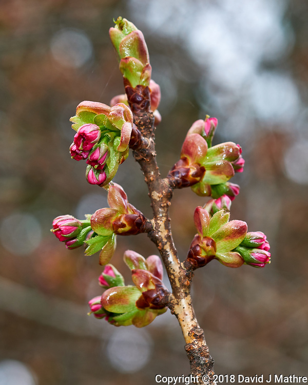 Plum Tree Buds About to Bloom Image taken with a Fuji X-H1 camera and 60 mm f/2.4 macro lens