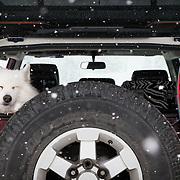 Anya the Samoyed basking in a winter storm in the Cascades of Washington near Mount Baker Ski Area with Wagner Custom Skis nearby.