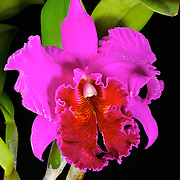 A brightly colored magneta lucky mongkorn orchid from Thailand of the catleya species