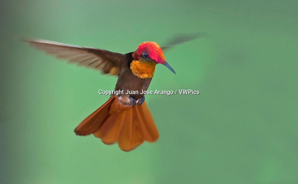 Ruby-topaz Hummingbird male (Chrysolampis mosquitus)
