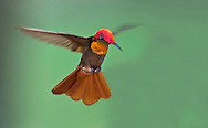 Ruby-topaz Hummingbird male (Chrysolampis mosquitus)