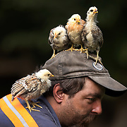 September 15, 2009. Garner, Kentucky. GARY PRATER hangs out with his chickens in his yard after getting off work as a coal miner. Prater said he has hand-raised the chicks which run around loose in his yard. (Credit image: © David Stephenson/ZUMA Press)