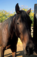 Horse, RustRidge Ranch and Winery, Lower Chiles Valley Road, Chiles Valley, Napa County, California