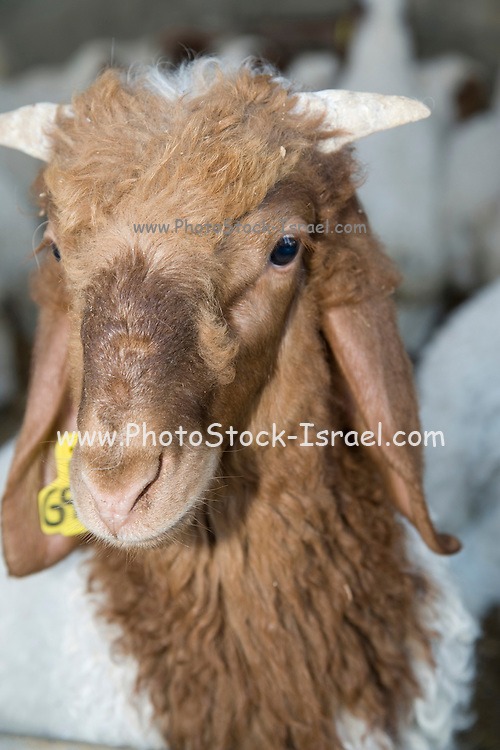 Israel, Sheep dairy farm, close up of a lamb