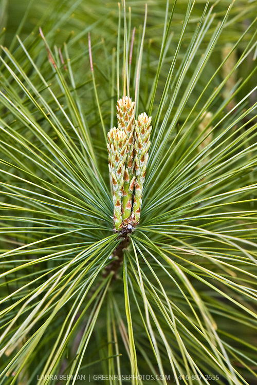 "New growth of the White pine (Pinus strobus)  also known as ""candles"" standing up straight in the center of mature pine needles."