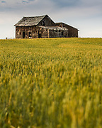 Abandoned barn in a field of wheat.  Located along Highway 24, about 6 km west of Mossleigh, Alberta.