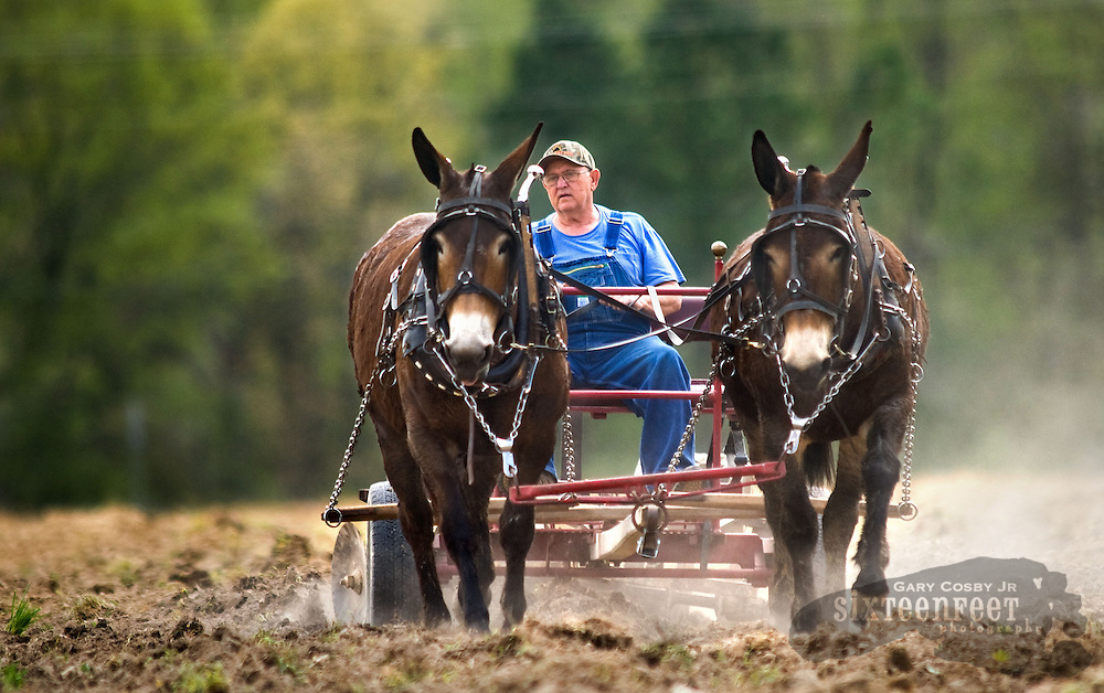 Photo by Gary Cosby Jr.  George Thomas plows a field in Lawrence County using mules Wednesday afternoon.  Thomas plans to plant corn in the field and will do all the cultivating the old fashioned way.  Thomas drives his mules, Bert and Ada, as they disc a row.