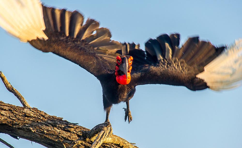 SOUTH AFRICA- Kruger National Park SOUTH AFRICA- Kruger National Park<br /> Southern Ground Hornbill (Bucorvus cafer)