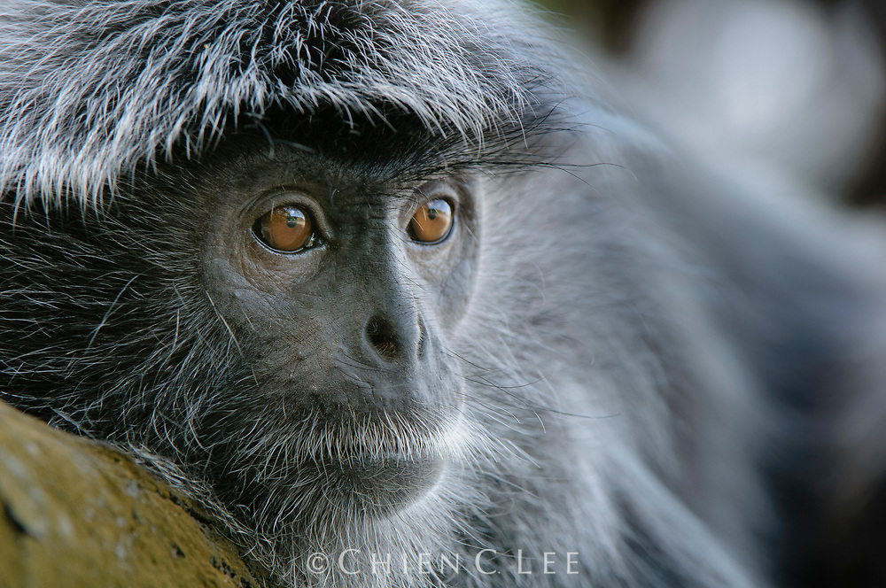 An adult male Silvered Leaf Monkey (Trachypithecus cristatus) keeps a watchful eye out for any threats to his harem of females.