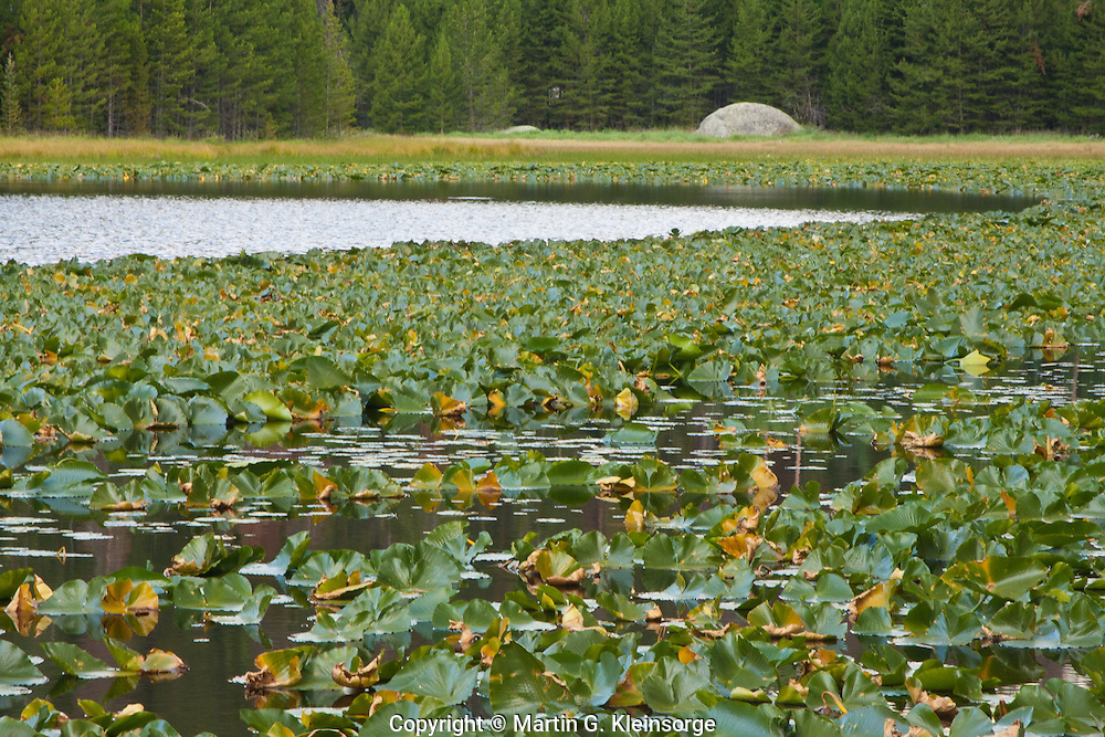 Pond lilies in Cub Lake, Rocky Mountain National Park, Colorado.