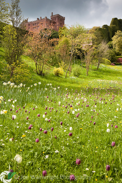Clouds gather over Powis Castle, Welshpool, while the sun shines on naturalised daffodils and snake's head fritillaries.
