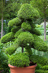 Cloud pruned box topiary in a terracotta pot. Buxus sempervirens.