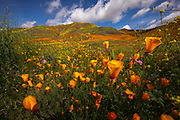 A wet winter has produced a rare superbloom of wildflowers near Lake Elsinore California.