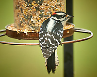 Hairy Woodpecker. Image taken with a Nikon D5 camera and 600 mm f/4 VR telephoto lens (ISO 450, 600 mm, f/4, 1/640 sec)