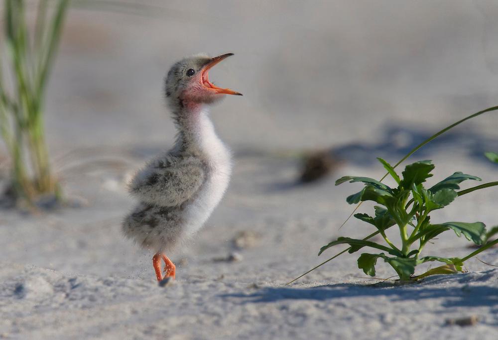 Common Tern (Sterna hirundo) chick